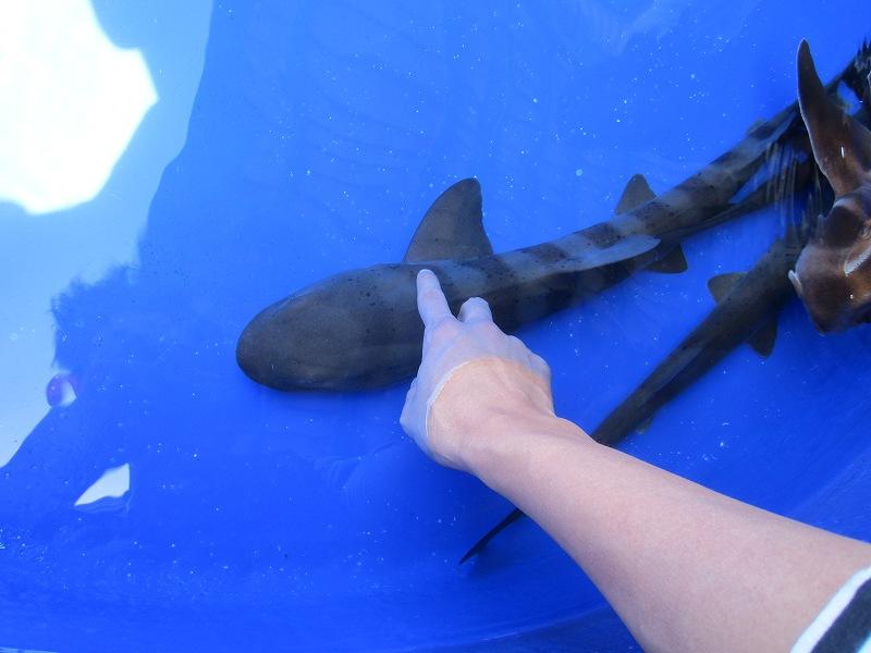 京急油壺マリンパークの触れるサメ