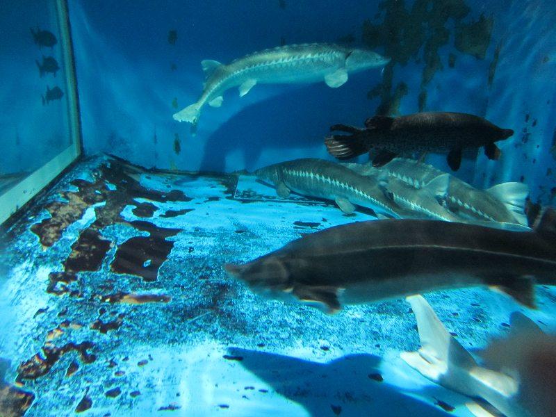 京急油壺マリンパークのチョウザメ
